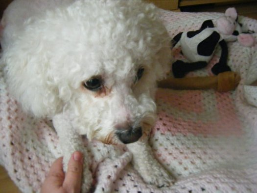 After a groom and obviously a bichon.